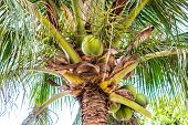 Green Palm With Large Leaves And Fresh Coconuts poster