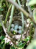 Eggs From Oval Strong Shell Waiting Their Mother In Nest. Nest With Young White Eggs Protected By Th poster