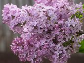 Sweet Violet Lilac Flowers On The Green Background. Sweet Lilac. Lilac Flowers. Green Branch With Sp poster