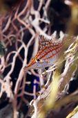 image of hawkfish  - Longnose hawkfish taken  in de Red Sea - JPG