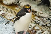 Black Adn White And Yellow Crested Macaroni Or Royal Penguin