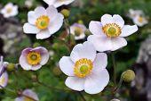 Japanese Anemone -  Thimbleweed Flowers