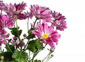 Постер, плакат: Розовая хризантема на белом фоне
