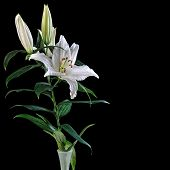white lily Casablanca isolated on black background