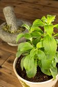Potted stevia plant which is a healthy sugar substitute