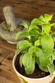 En la planta de stevia que es un sustituto del azúcar saludable