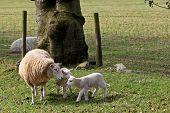 Cordeiros com ovelha em tempo de Primavera em ovinos pastagem de campo.