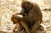 Baboon Mother Grooming Her Offspring