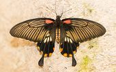 Butterfly Insects Pachliopta Aristolochiae