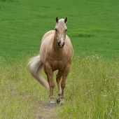 Pale Brown Horse in the Field