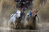 SUMATERA - AUGUST 24: An unidentified jockey steers two bulls across the muddy paddy fields in the b