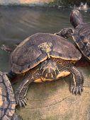 Terrapin Tortoise