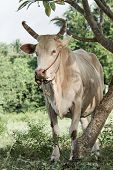 picture of charolais  - Breeder cow eating grass in the green field - JPG