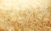 Wheat Field With Focus In Foreground