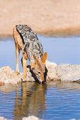 pic of jackal  - Black backed jackal drinking cool water in the hot kalahari - JPG