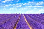 stock photo of fragrance  - Lavender flower blooming scented fields in endless rows - JPG