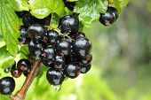black currant branch