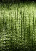 picture of horsetail  - Abstract green forest nature horsetail photo background - JPG