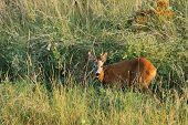 Young Wild Roebuck
