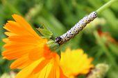 Caterpillar And Calendula