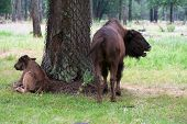 stock photo of aurochs  - Aurochs on the grass in the summer forest - JPG