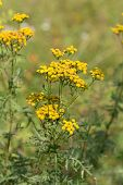 picture of tansy  - Tansy on a summer flowering meadow close up
