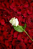 image of single white rose  - White Rose on Red Rose Petals - JPG