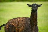 stock photo of lamas  - Black Lama Right After Rain - JPG