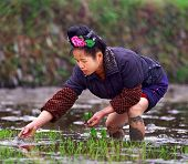 Chinese Woman Planting Seeds Of Rice In A Rice Field.