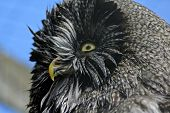 Great Grey Owl Face After A Bath poster