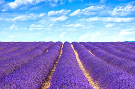 image of plateau  - Lavender flower blooming scented fields in endless rows - JPG