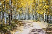 Dirt Road Through Fall Aspen Forest In Colorado