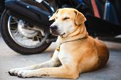 picture of stray dog  - red dog rest on the road near motobike - JPG