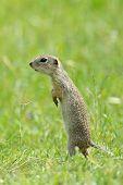 cute prairie dog on field in summer