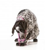 bad dog - naughty german shorthaired pointer chewing on beads isolated on white background