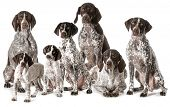 german shorthaired pointers isolated on white background