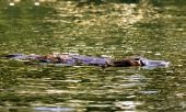 pic of platypus  - A Platypus (Ornithorhynchus anatinus) on surface of creek in daylight with eyes open.