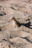One wild sparrow on sand