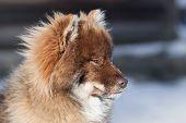 Nenets Husky