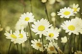 Vintage photo of chamomile flowers in spring field