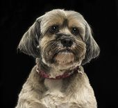 Close-up of a Lhasa apso, on a black background