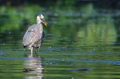 image of bluegill  - Great Blue Heron fishing in the low lake waters.