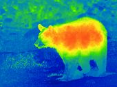 Black bear by thermal camera