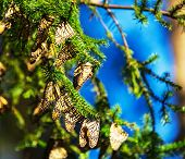 stock photo of monarch  - Monarch Butterfly colony in Mexico - JPG
