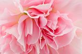 stock photo of carnation  - Beautiful Pink Carnation Isolated On White Background - JPG