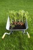Carrots in a wheelbarrow standing on grass