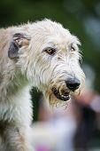 Light Brown Irish Wolfhound