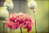 Vintage photo of poppy