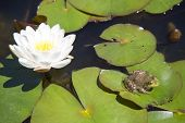 Frog resting on a lotus leaf