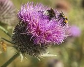 Bees On Thistle Flower
